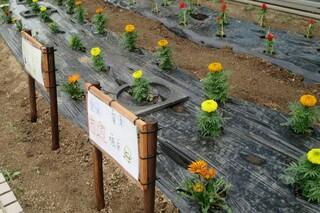 小学生ボランティアサークル「ぼらんてぃあひろばぴよっこ」花壇のお花が咲き始めました。